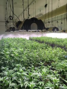 PKV-Cannabis-Lab-serra
