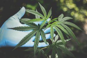cannabis ad uso terapeutico in Italia